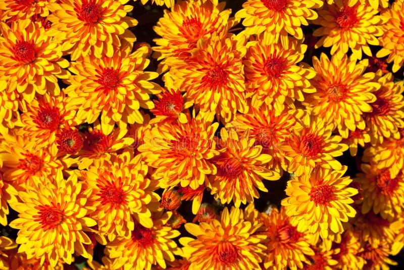 Crisantemo d'autunno variopinto immagine stock libera da diritti