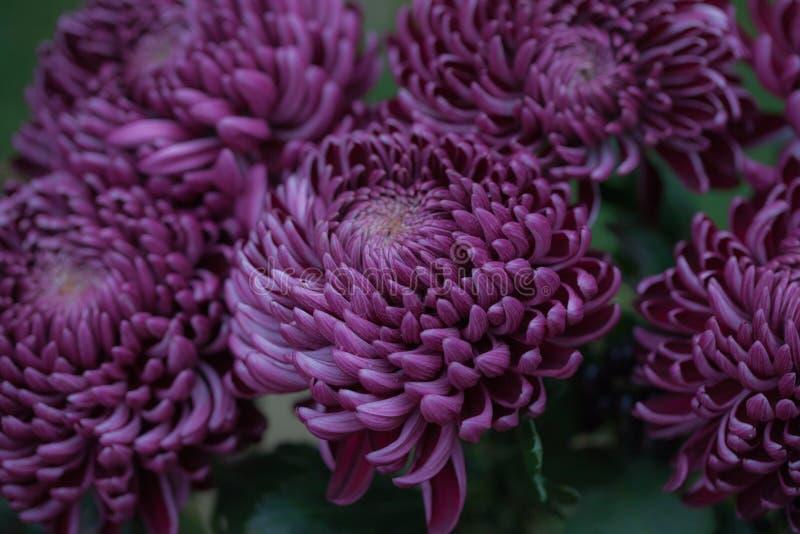 Crisantemo d'autunno variopinto Fiori sboccianti in un giardino Fiori gialli Fiori di caduta fotografia stock libera da diritti