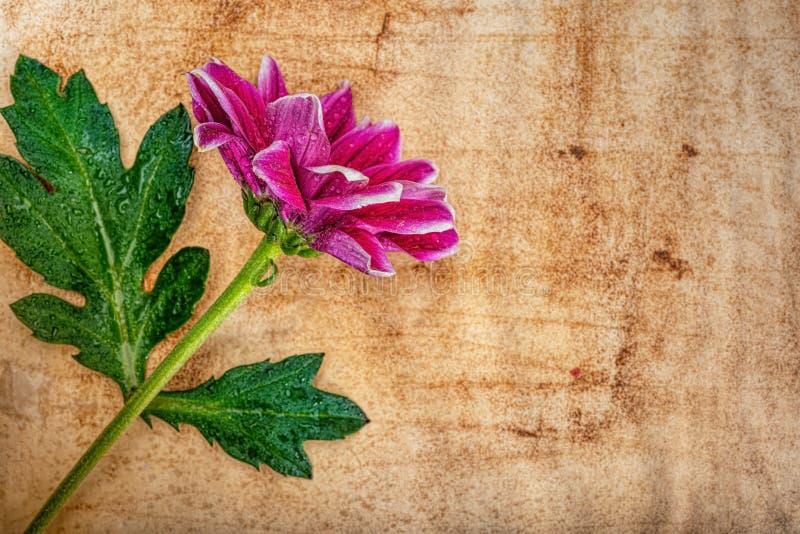 Crisantemo de flores - fondo abstracto fotografía de archivo