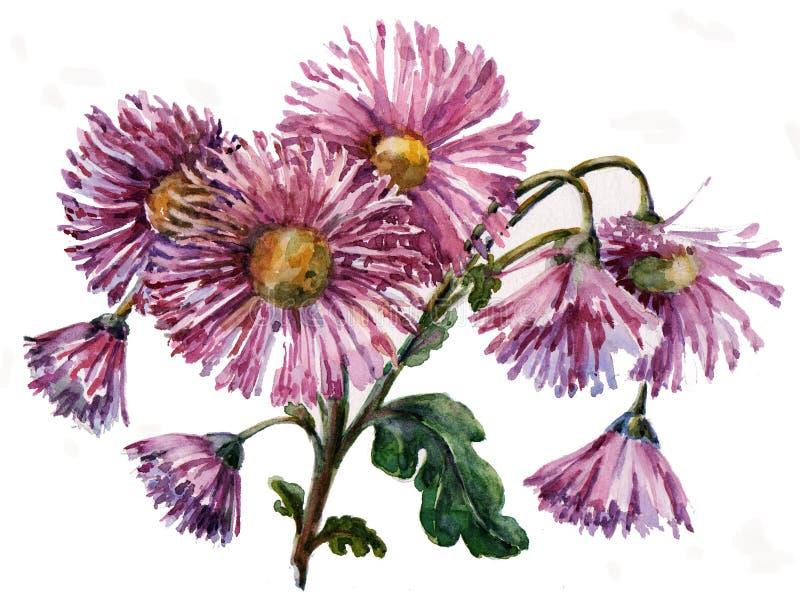 Crisantemo de la acuarela Ejemplo floral en un fondo blanco stock de ilustración
