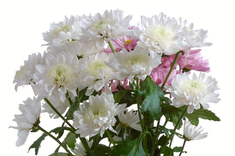 Crisantemo del jardín imagenes de archivo