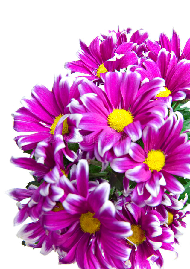 Crisantemo dentellare. fotografie stock
