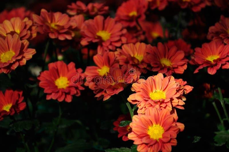 Crisantemo di colore rosso arancione fotografie stock