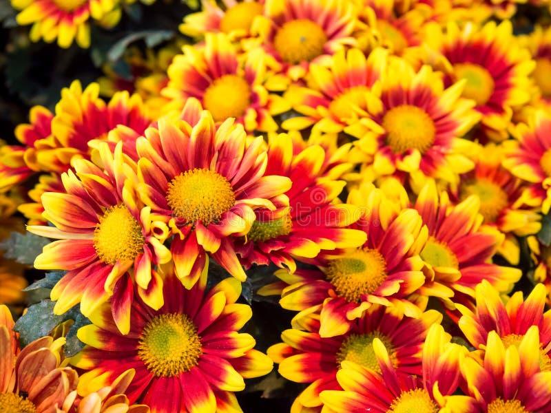 Crisantemo di colore rosso arancione fotografia stock