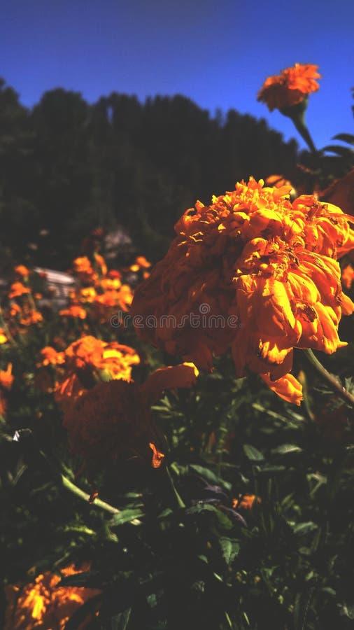 Crisantemo en un punto recreativo en Nathia Gali, Murree fotografía de archivo libre de regalías