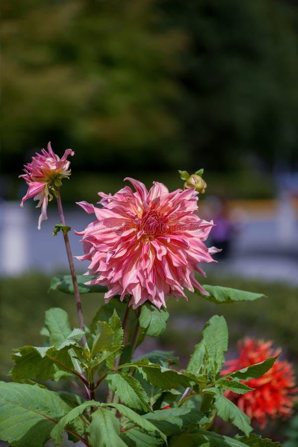 Crisantemo erbaceo dei fiori delle piante rosso arancio con la p oblunga fotografia stock libera da diritti