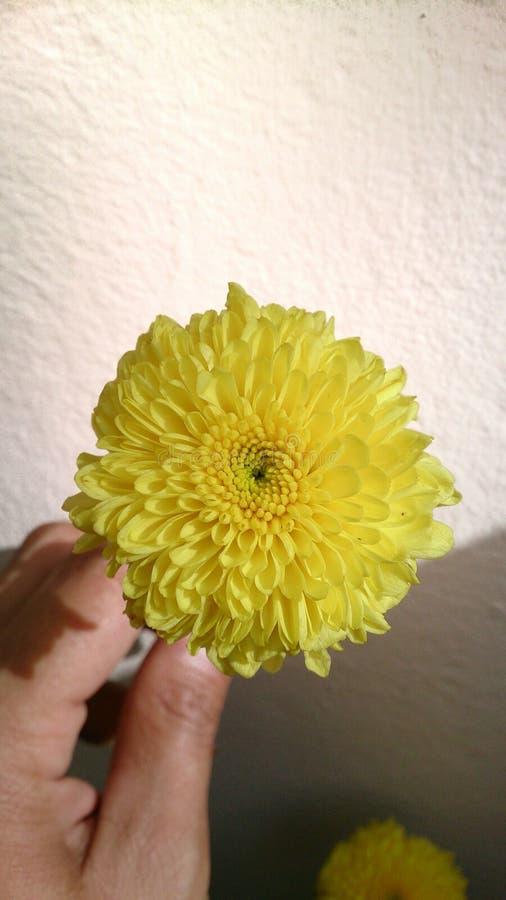 Crisantemo giallo immagine stock