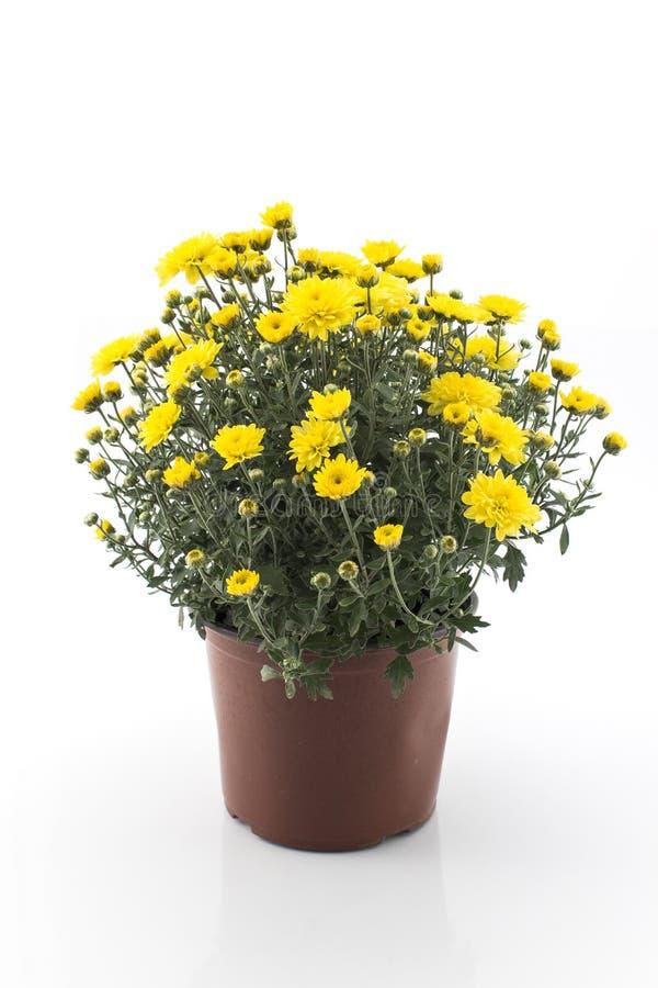 Crisantemo giallo conservato in vaso fotografia stock