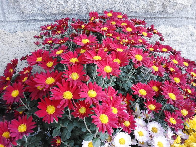 Crisantemo giallo e rosso fotografia stock