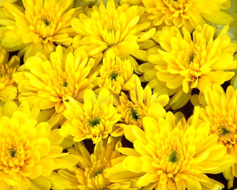 Crisantemo giallo, fiori gialli a settembre fotografie stock libere da diritti
