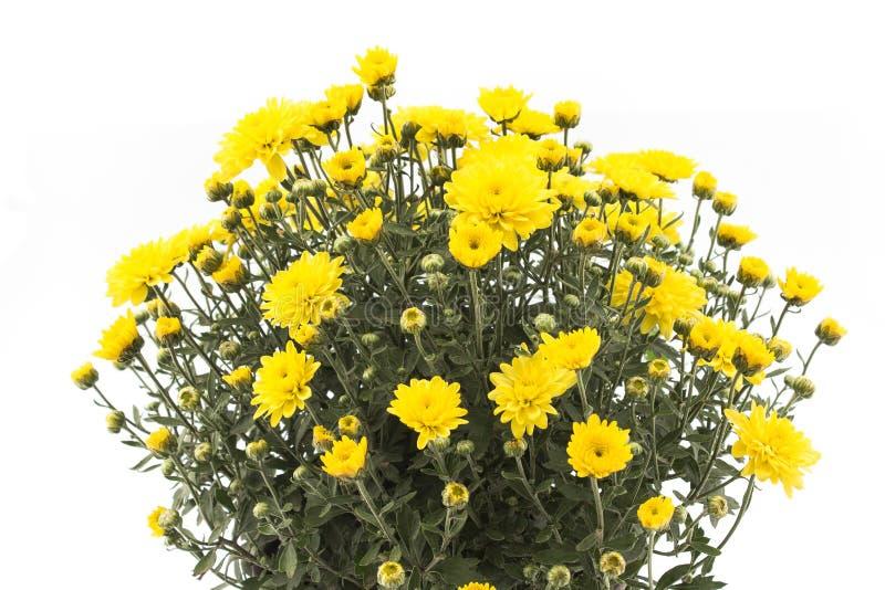 Crisantemo giallo isolato su bianco immagini stock libere da diritti