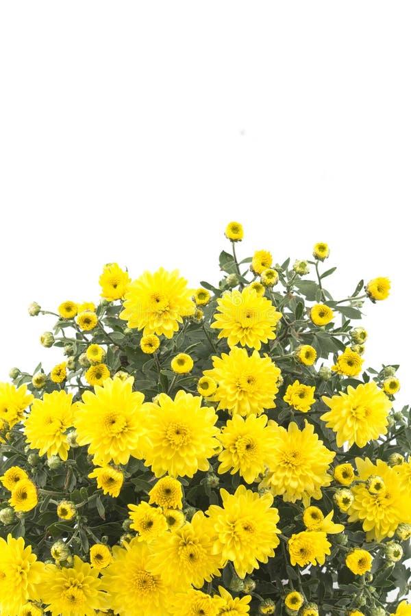 Crisantemo giallo su fondo bianco fotografia stock