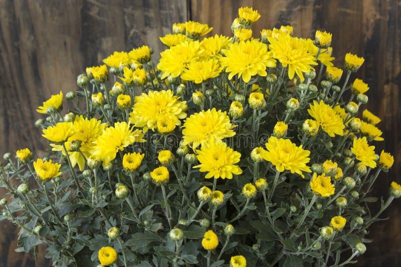 Crisantemo giallo su fondo di legno fotografia stock