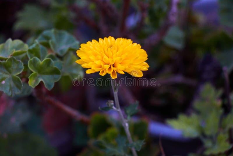 Crisantemo giallo su fondo verde scuro immagine stock