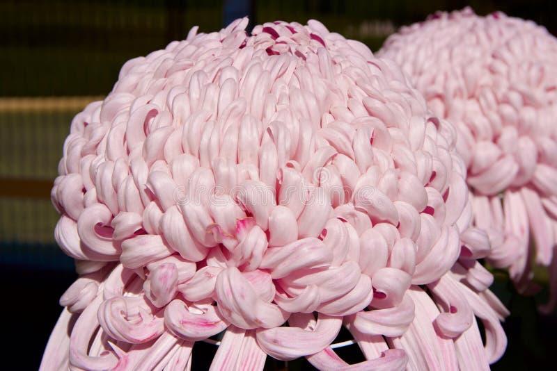Crisantemo giapponese fotografie stock libere da diritti