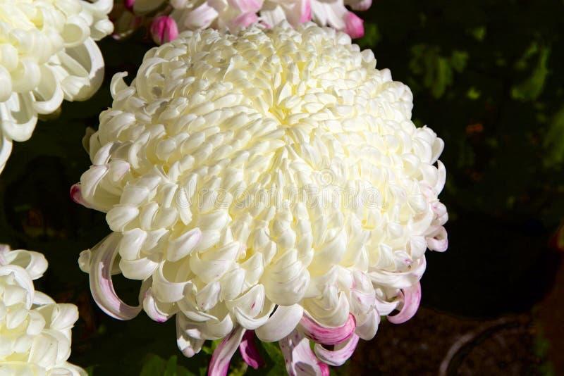 Crisantemo giapponese fotografia stock