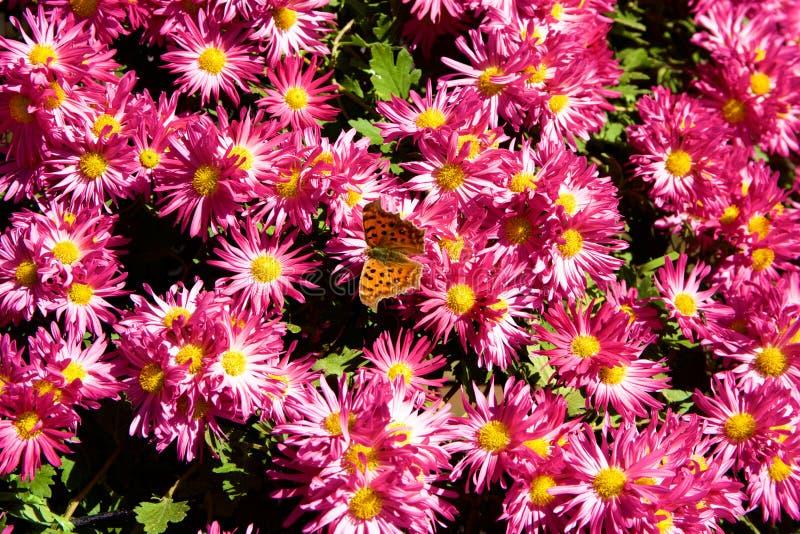 Crisantemo giapponese fotografia stock libera da diritti