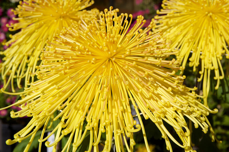 Crisantemo giapponese immagine stock