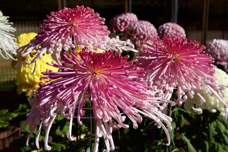 Crisantemo giapponese immagini stock