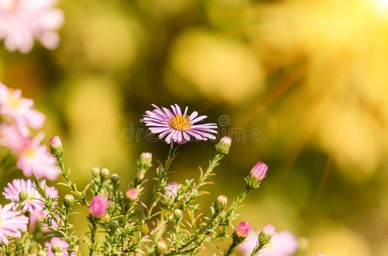 Download Crisantemo Hermoso Con Un Agradable Borroso Foto de archivo - Imagen de jardín, fresco: 100530756