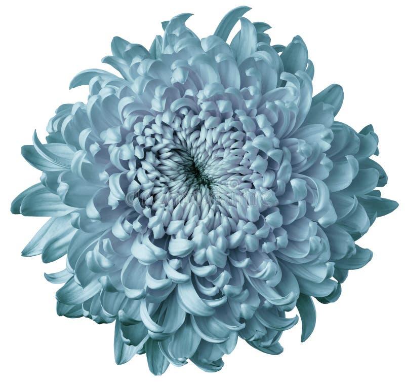 Crisantemo leggero del fiore del turchese isolato su fondo bianco Per il disegno Fuoco del pulitore closeup fotografia stock libera da diritti