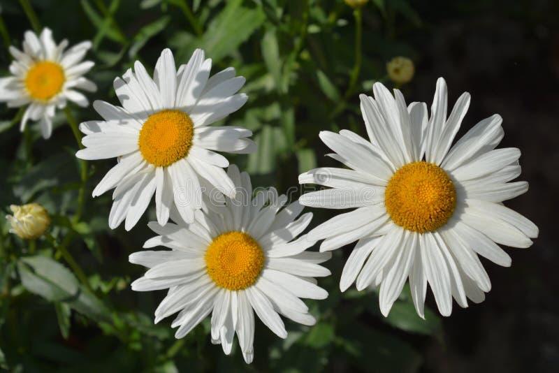 Crisantemo máximo fotografía de archivo