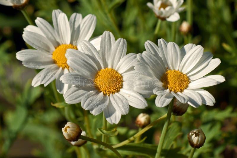 Crisantemo máximo, máximo del Leucanthemum imagen de archivo libre de regalías