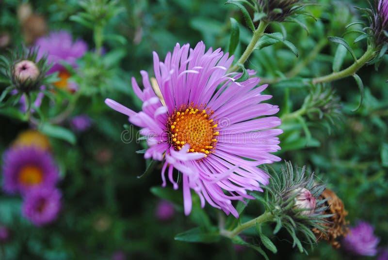 Crisantemo nel giardino fotografia stock