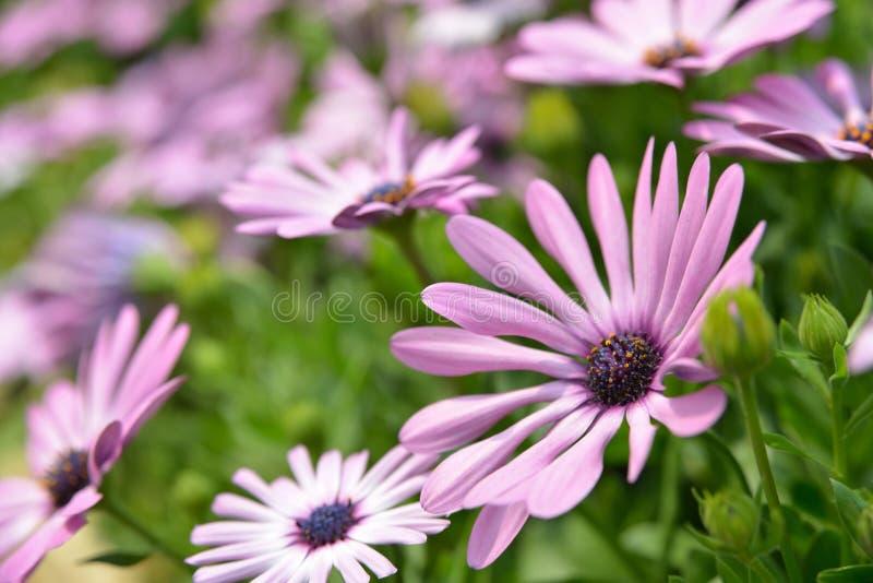 Crisantemo púrpura imagen de archivo libre de regalías