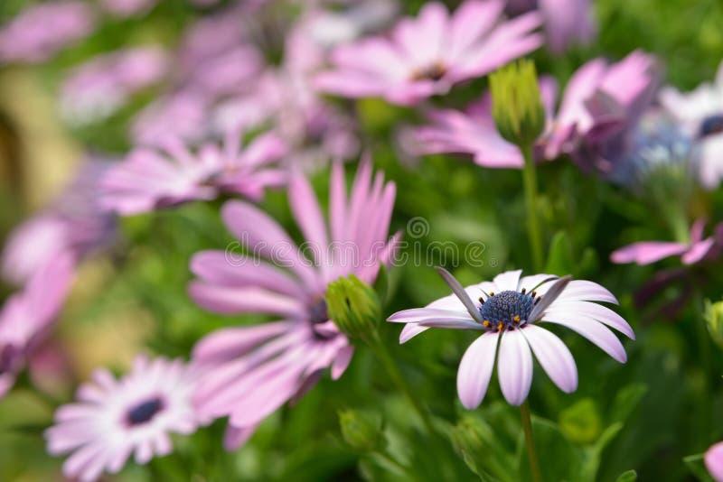 Crisantemo púrpura fotografía de archivo libre de regalías
