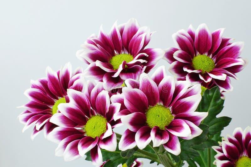 Crisantemo púrpura imagen de archivo