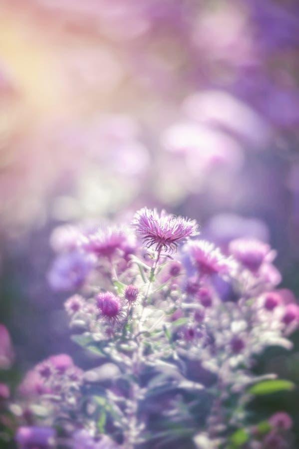 Crisantemo púrpura delicado hermoso en el jardín soleado del otoño Fondo Mirada retra imagen de archivo libre de regalías