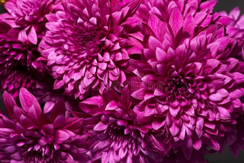 Crisantemo púrpura rojo imagen de archivo libre de regalías