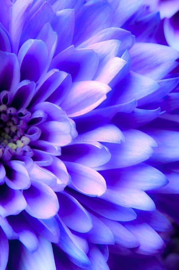 Crisantemo púrpura romántico de la margarita fotografía de archivo
