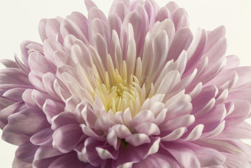 Crisantemo porpora del fiore su fondo bianco immagini stock libere da diritti