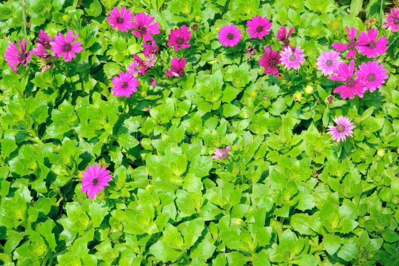 Crisantemo porpora immagini stock