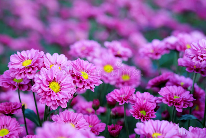 Crisantemo porpora nel fondo di agricoltura del giardino floreale con il fuoco molle fotografia stock libera da diritti