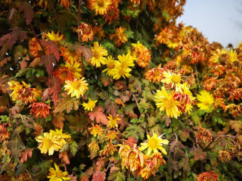 Crisantemo que florece con diversos colores imágenes de archivo libres de regalías