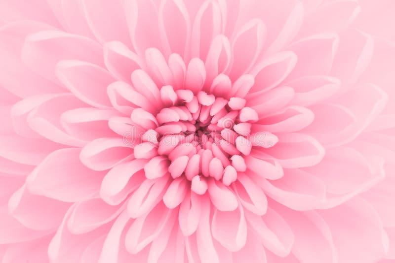 Crisantemo rosado imágenes de archivo libres de regalías