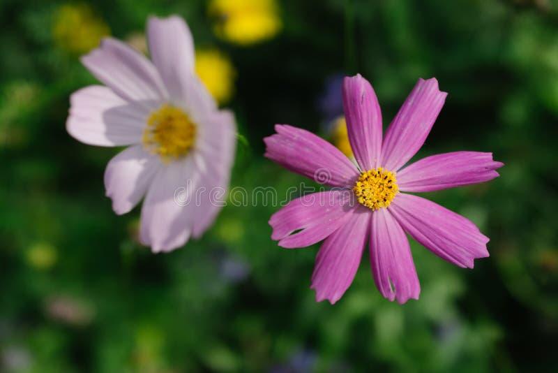 Crisantemo rosado en el jardín imagenes de archivo
