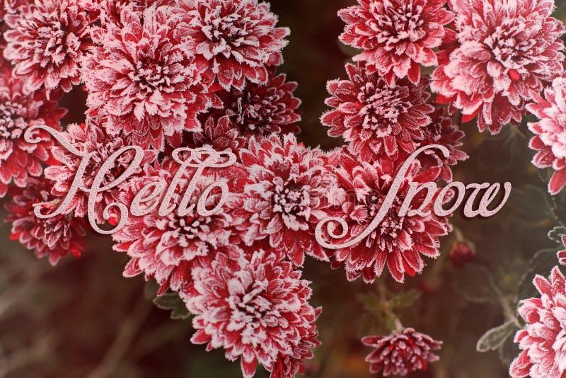 Crisantemo rosso Fiori nella neve fotografia stock libera da diritti