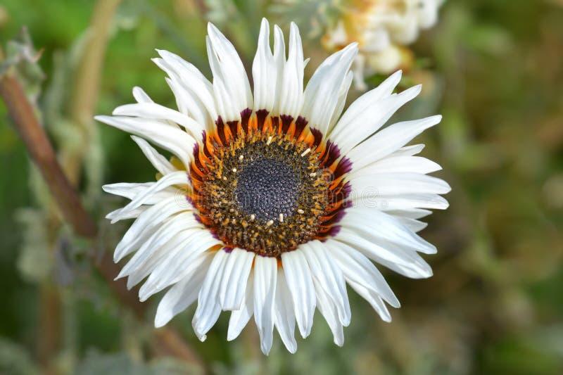 Crisantemo tricolor fotografía de archivo