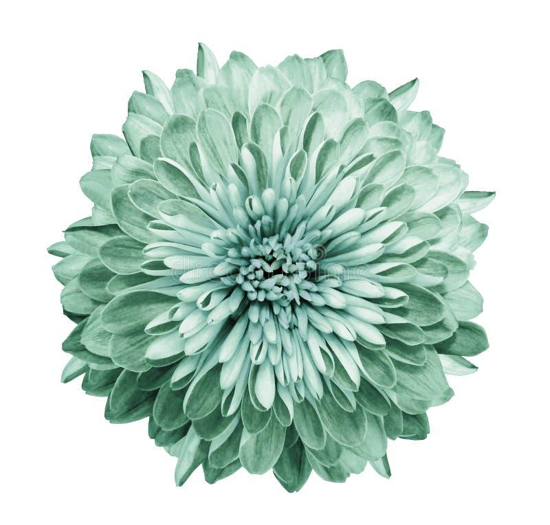 Crisantemo turquesa-verde Florezca en fondo blanco aislado con la trayectoria de recortes sin las sombras Primer Para el diseño foto de archivo libre de regalías