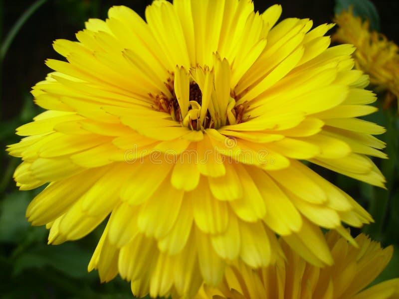 Crisantemo - una flor amarilla en la visión macra fotos de archivo