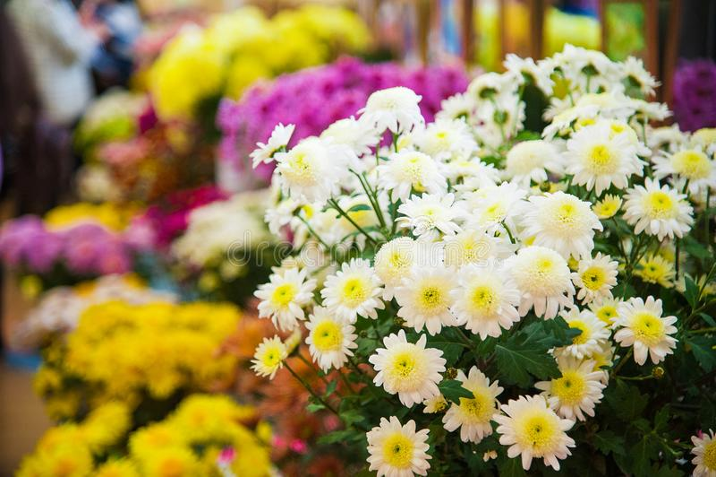 Crisantemo variopinto da vendere fotografia stock