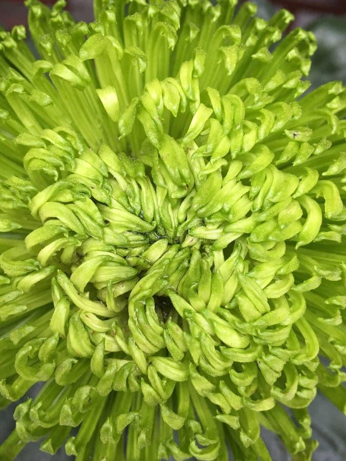 Crisantemo verde fotografia stock