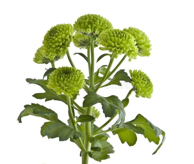 Crisantemo verde imagen de archivo
