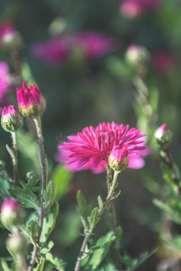 Crisantemo violeta rosado hermoso en el jardín imágenes de archivo libres de regalías