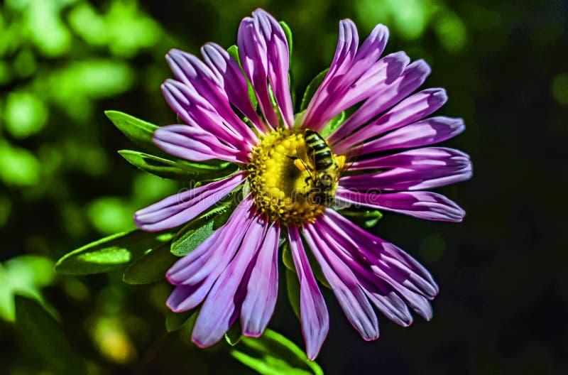 Crisantemo y la abeja sobre ella imagen de archivo libre de regalías