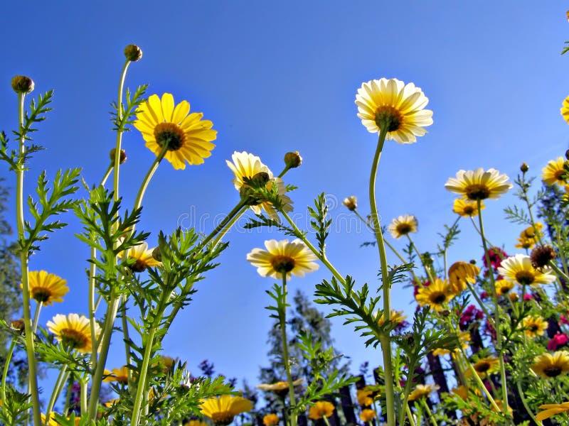 Download Crisantemos foto de archivo. Imagen de floración, día - 7151490